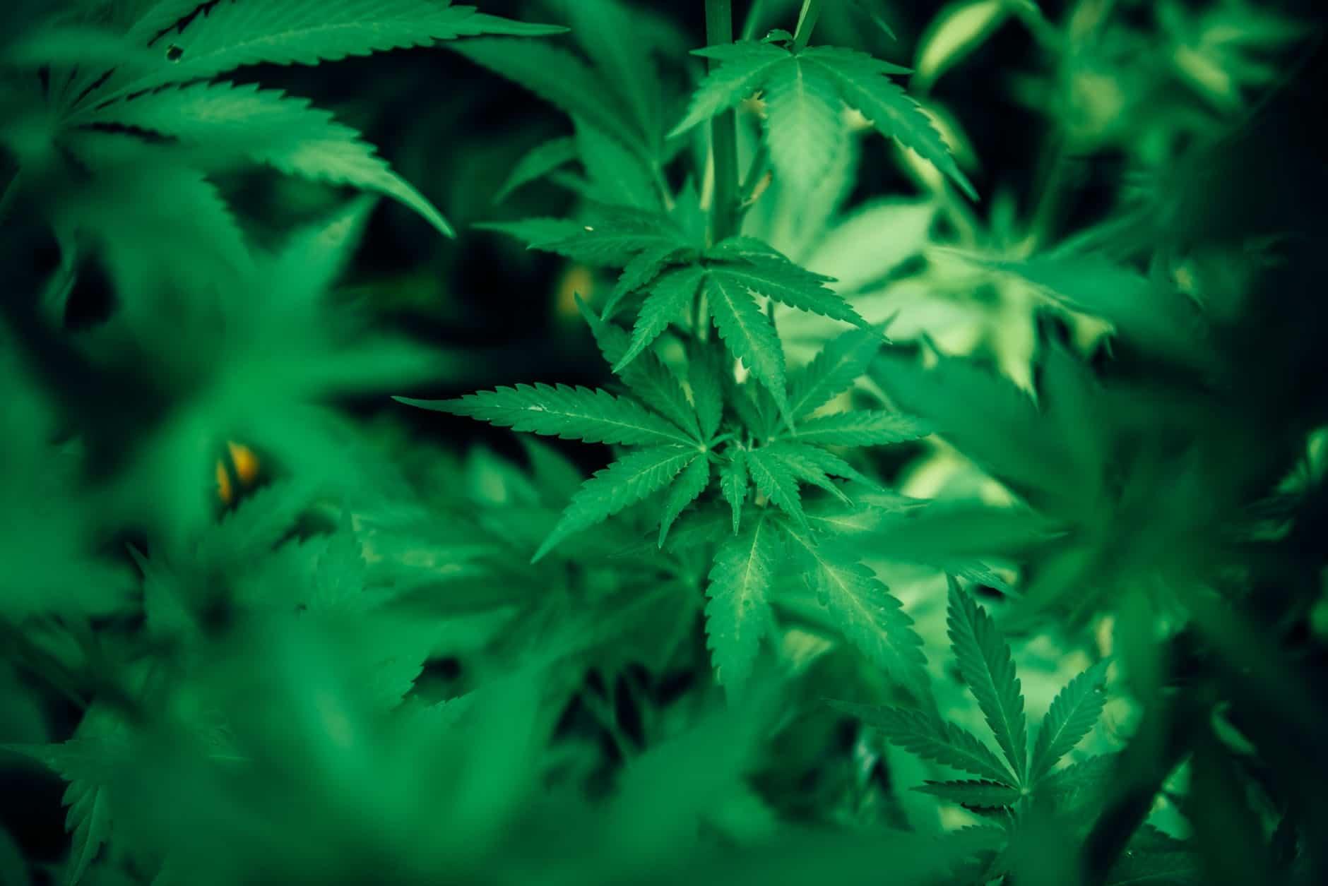 Jaké jsou účinky marihuany? 2