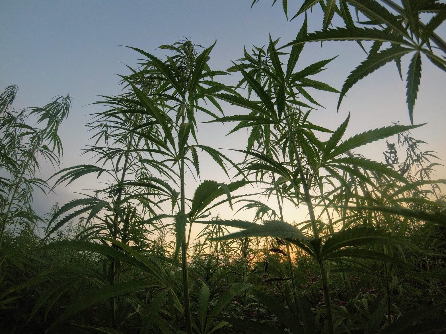 Jak to vypadá s legalizací marihuany v ČR? 3